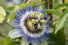 blossom(0.0), giant granadilla(0.0), flower(1.0), purple passionflower(1.0), plant(1.0), macro photography(1.0), wildflower(1.0), flora(1.0), close-up(1.0), passion fruit(1.0),