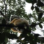 Diademed Sifaka, Analamazaotra Reserve