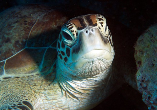 Green Turtle - happy to pose for the cameras