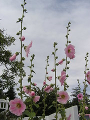 blossom(0.0), gladiolus(0.0), digitalis(0.0), flower(1.0), malva(1.0), wildflower(1.0), flora(1.0), pink(1.0), petal(1.0),