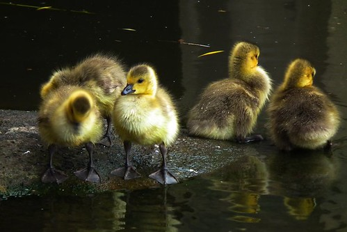 ducklings ...