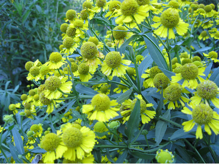 Charmingly button-shaped sneezeweed flowers, Helenium autumnale, smell sweetly of hay. Photo by Ashley Gamell.