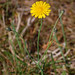 Hypochaeris radicata, False Hawksbeard or Cat's-ear