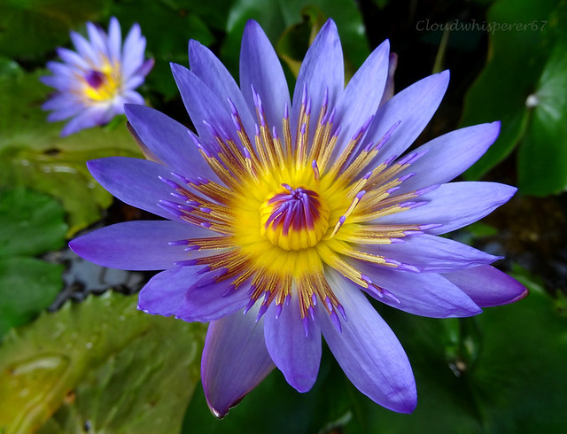 Blue Water Lily Flower - the Nymphaea Lotus | Flickr ...