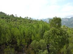 Après le bloc rocheux à murets : la trace jusqu'au bois de pins