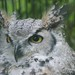 Small photo of Great Horned Owl (Bubo virginianus), Amazona Zoo