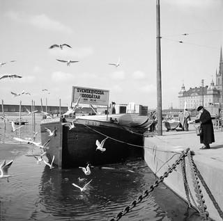 Woman feeding waterfowl in Stockholm in 1955
