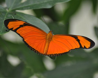Julia Longwing Butterfly (Dryas julia)