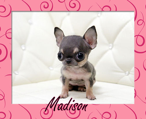 Teacup Chihuahua Quot Boutiqueteacup Puppies Quot Quot Boutique