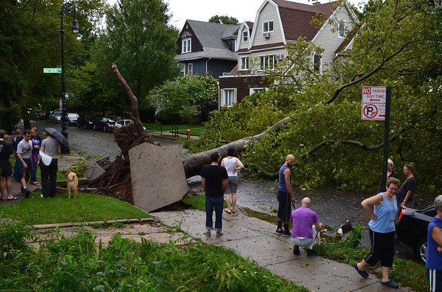 London Plane Street Tree downed by Hurricane Irene