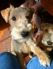 puppy(0.0), norfolk terrier(0.0), glen of imaal terrier(0.0), schnauzer(0.0), dog breed(1.0), animal(1.0), dog(1.0), schnoodle(1.0), pet(1.0), mammal(1.0), wire hair fox terrier(1.0), lakeland terrier(1.0), welsh terrier(1.0), irish terrier(1.0), irish soft-coated wheaten terrier(1.0), miniature schnauzer(1.0), terrier(1.0), airedale terrier(1.0),