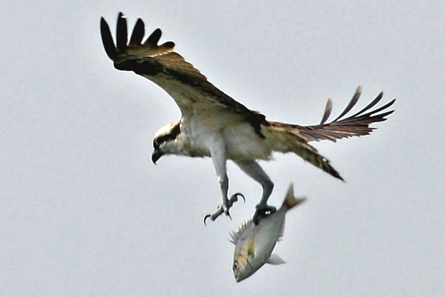 Osprey catching fish three he almost drops it for Osprey catching fish