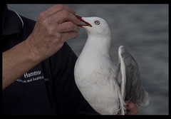 Sea Gull with fishing line rapped around leg-7=