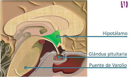 Small garden cartoon - Hipotalamo Gl 193 Ndula Pituitaria Puente De Varolio Ubicaci 243 N