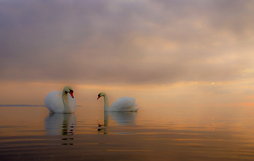 An evening with Mute swans