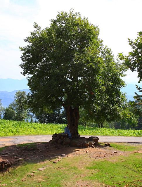 Chinar tree, platanus orientalis near Danna village, Kashmir