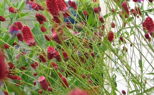 Cdfolia 39 s sanguisorba officinalis 39 red thunder 39 folia for Sanguisorba officinalis red thunder