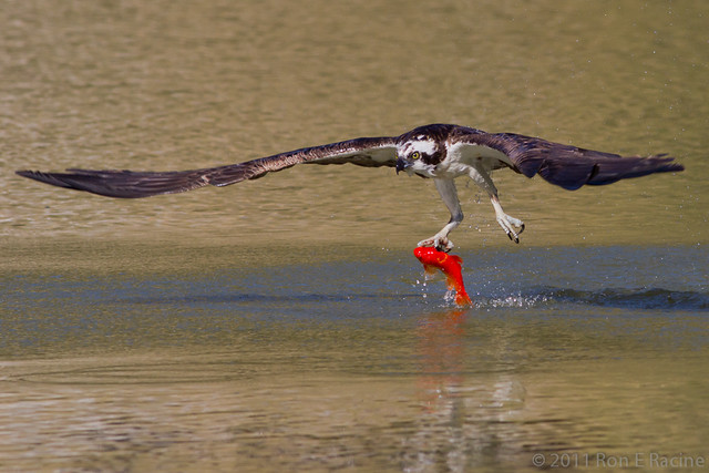 Osprey catching a fish series iv flickr photo sharing for Osprey catching fish