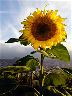 Sunflower, fog and Bernal Hill at sunset  (12 Aug 11)