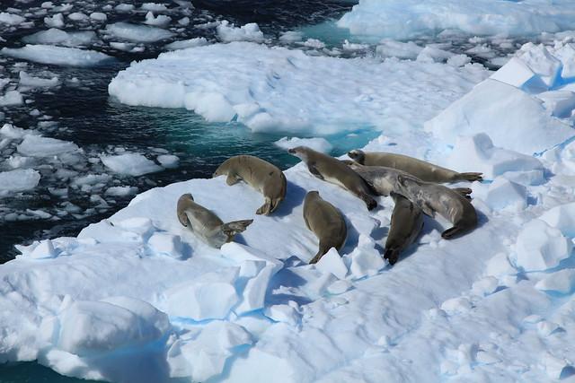 Focas cangrejeras en el canal de Lemaire, La Antártida