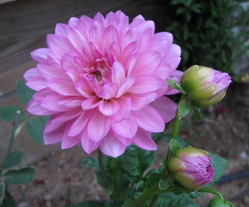 pink dahlia 0811
