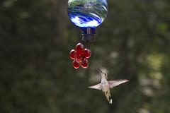 20110821 - Hummingbirds 2011