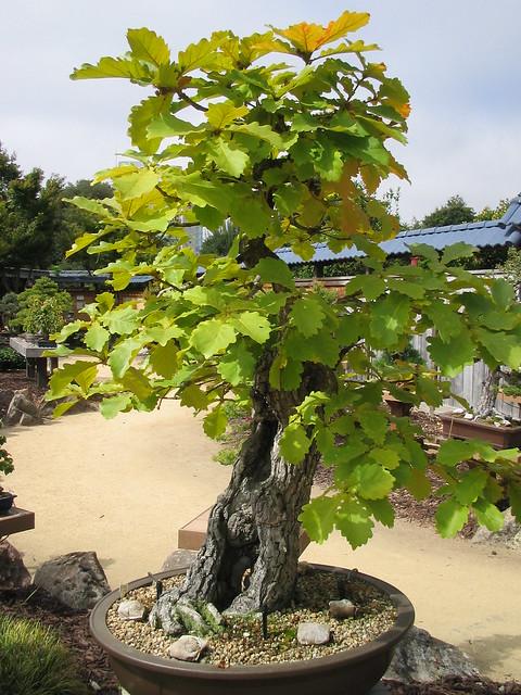 Daimyo Oak Bonsai Daimyo Oak Bonsai Garden Ga Flickr Photo Sharing