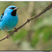 Brilliant Blue Dacnis