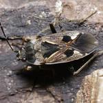 közönséges díszesbodobács - Rhyparochromus vulgaris