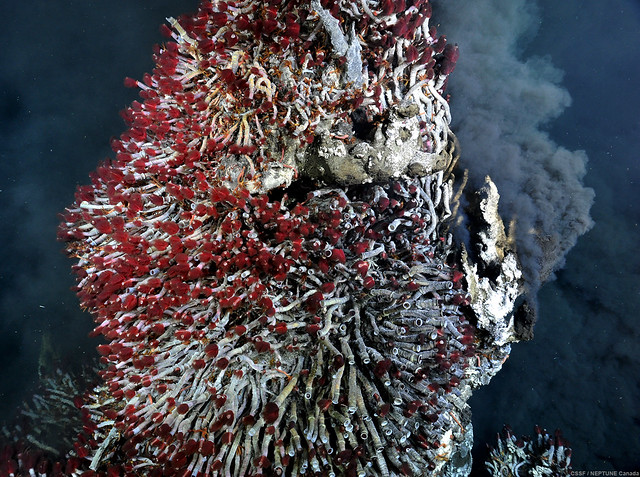 The pinnacle of this vent chimney is inhabited by a thriving community of tubeworms (Ridgeia piscesae).