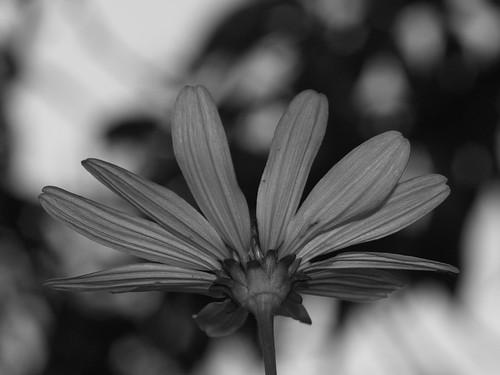 Black and white flower.                  P9044013