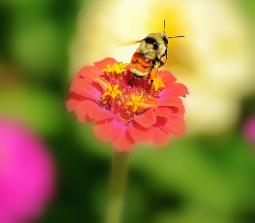 bee and zinnia