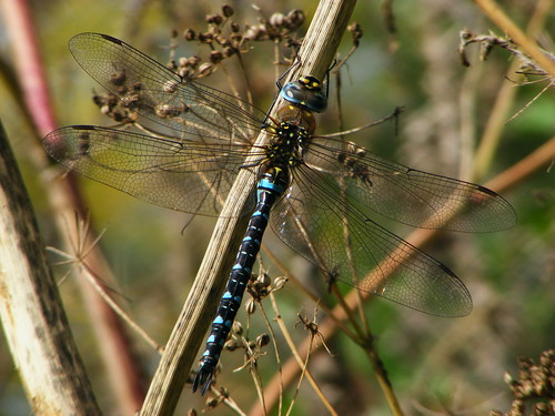 Male Migrant Hawker ~ Aeshna Mixta