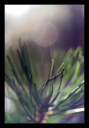 macro tree pine iceland dof bokeh