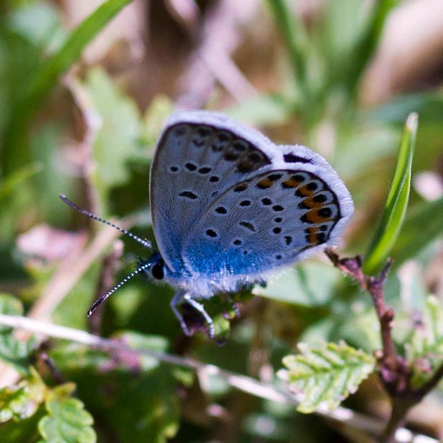 Farfalla blu / Blue butterfly
