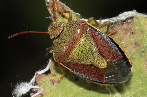 Gorse Shieldbug 2623