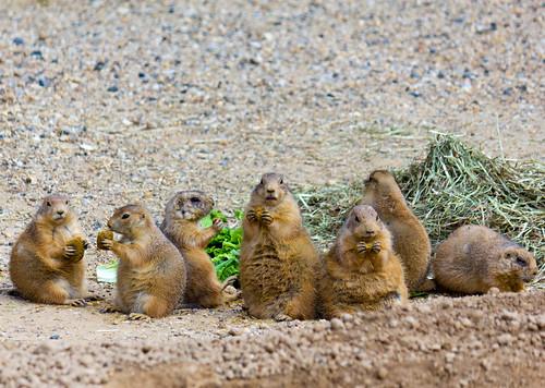 Pack of Prairie Dogs Eating