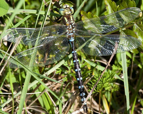 10032011JGW-EmiquonClarkRoad-CommonGreenDarnerDragonfly_MG_3093