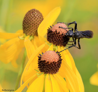 Great Black Wasp on Black Eyed Susan