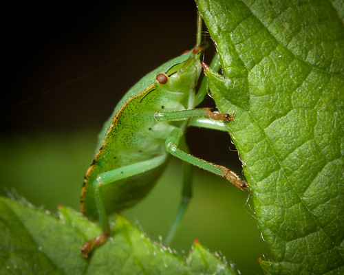 Common Green Shieldbug ~ Final Instar Nymph by Boom-Stick (Soon to be James Clay Photography)