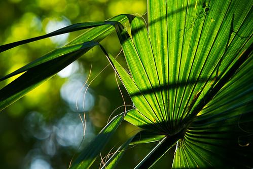 plants forest landscape texas south jungle northamerica lower preserve brownsville riograndevalley sabalpalm southmost sabalpalmsanctuary sabalmexicana tpwmagazinef11 tpwmagazine