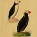 Kupfertafeln zur Naturgeschichte der Vögel
