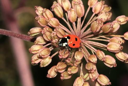 7-Spot Ladybird 1991