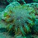 Small photo of Crown-of-thorns (Acanthaster planci)