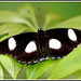 1512 bf_11636 great eggfly