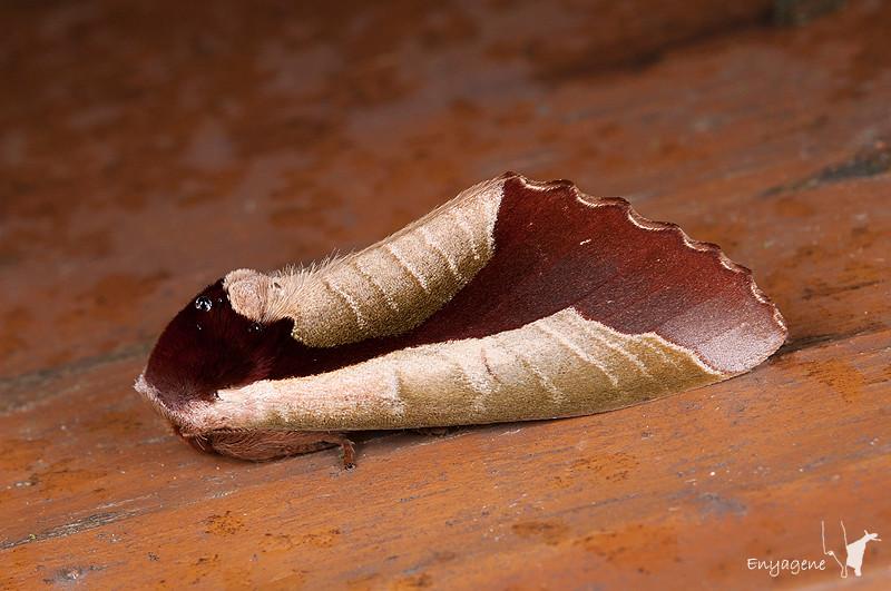 110528 新竹 觀霧 043 雙色美舟蛾 Uropyia meticulodina