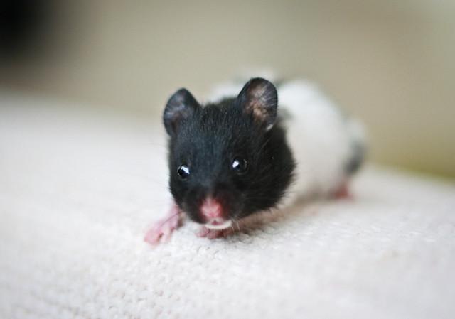 Black Banded SH Syrian hamster | Flickr - Photo Sharing!