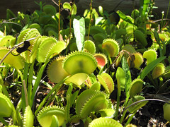 Venus flytrap enjoying a meal