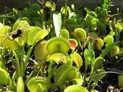 Venus flytrap enjoying a meal