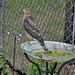 Small photo of Juvenile male Cooper's Hawk (Accipiter cooperii)